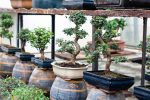 Bonsai trees in pots for sale